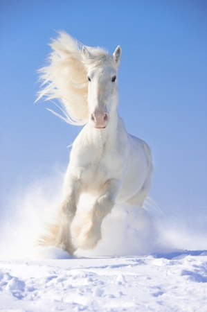 White Shire horse stallion runs gallop in front focus photo