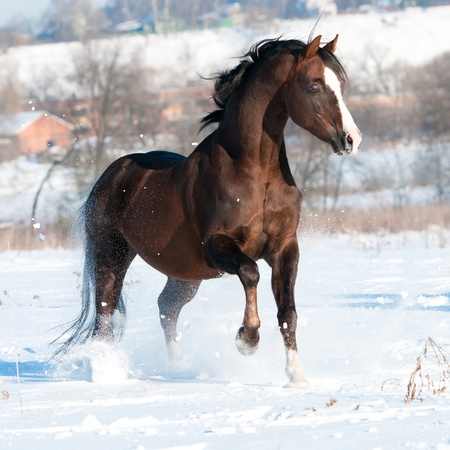 horse in snow: Welsh pony stallion runs gallop in winter time Stock Photo