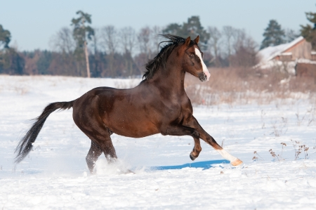 Welsh pony stallion runs gallop to the right photo