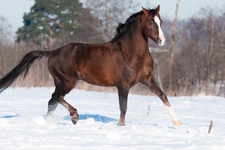 drafje: Brown Welsh pony hengst loopt draf in de winter Stockfoto