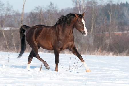 Brown Welsh pony stallion runs trot in winter