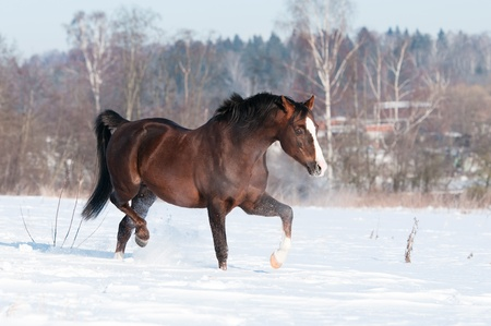 Welsh pony stallion runs trot in winter time Stock Photo - 12836968