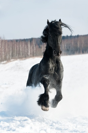 Black friesian horse runs front in the wintertime photo