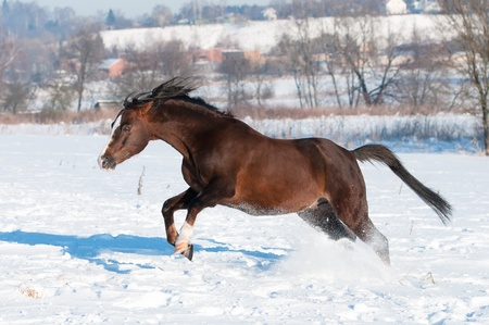 Welsh pony runs fast, winter time Stock Photo - 12836979