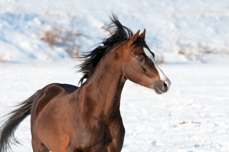 welsh: Brown Welsh pony stallion portrait in winter time Stock Photo