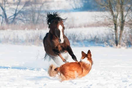 Welsh pony and border collie dog play in winter