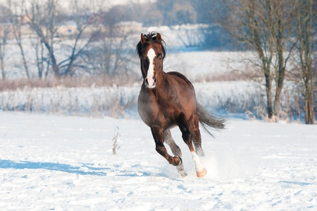 Welsh brown pony runs gallop in front focus photo