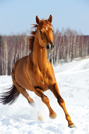 warmblood: Red horse runs front in winter time Stock Photo
