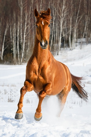 Red horse runs gallop in winter time photo