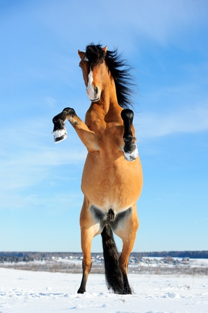 bay horse rearing up, front view, winter time