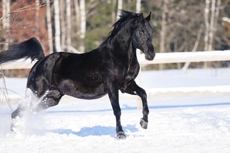 Black friesian horse runs gallop in winter photo