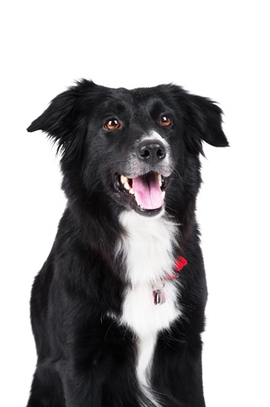 Black and white dog border collie portrait isolated photo