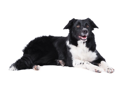 Border collie lying, isolated on the white background photo