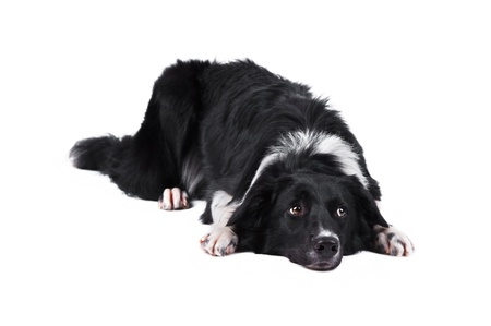 Border collie lying, isolated on the white background Stock Photo - 13152744