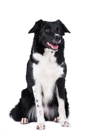 Black and white dog border collie full portrait isolated Stock Photo - 13152752