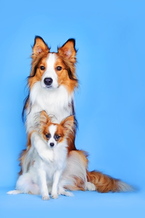 Border collie and Papillon dogs on the blue background photo