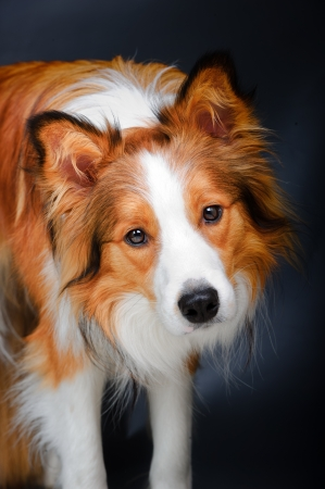 Border collie vous regarde, portrait sur le fond gris fonc� photo