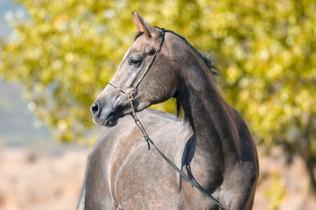 grey horses: Grey Arabian horse mare portrait in summer time Stock Photo