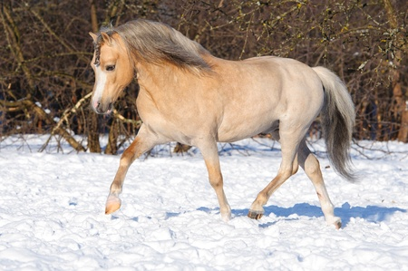 Palomino Welsh pony runs trot, winter time photo