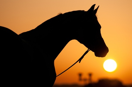 silhouette of Arabian horse and sunrise in summer