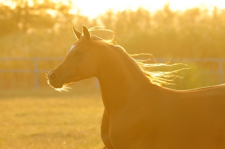 Arabian horse silhouette in sunset runs gallop photo