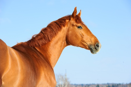 Golden red trakehner horse portrait in winter
