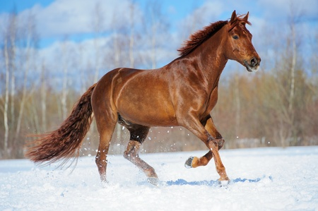 chestnut male: Red horse runs gallop in winter Stock Photo