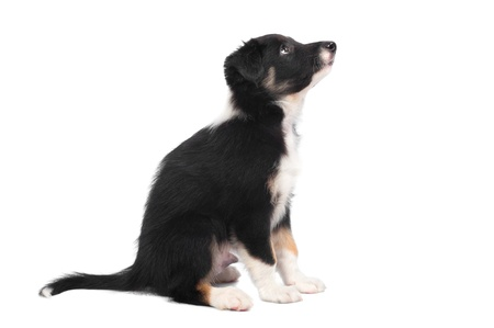 Border Collie puppy, 7 weeks old isolated on white, horizontal photo