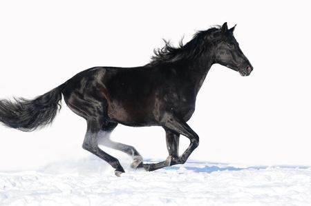 caballo negro: Caballo negro corre al galope en el blanco