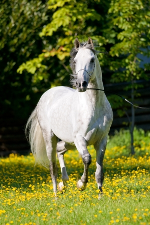 Witte Tersk paard loopt draven in de zomer