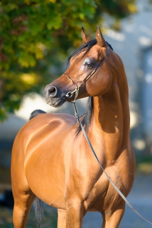 warmblood: Bay arabian horse stallion portrait in halter in autumn Stock Photo