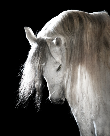 white Andalusian horse on the black background