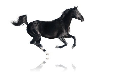 domestic horses: Black horse runs gallop, isolated on white background Stock Photo