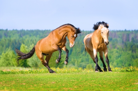 Two bay horses playing on the meadow in summer