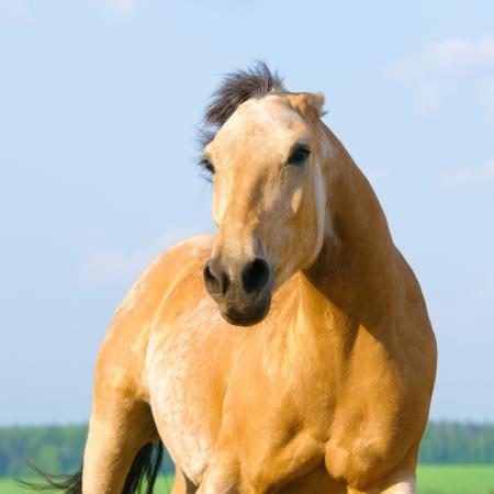 personas enojadas: Angry caballo bayo se ejecuta en la vista frontal