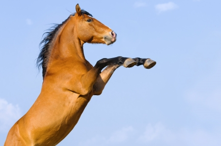 rearing: Bay horse rearing up on the sky background, half of horse