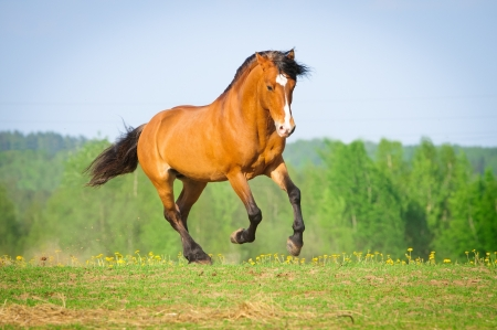 running horses: Bay horse runs gallop in summer time Stock Photo