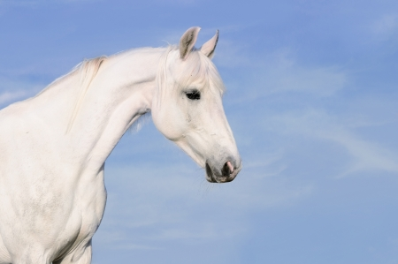 White Orlov trotter horse portrait on tke sky background
