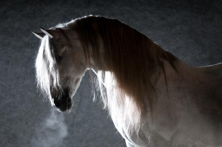 White horse portrait on the dark background