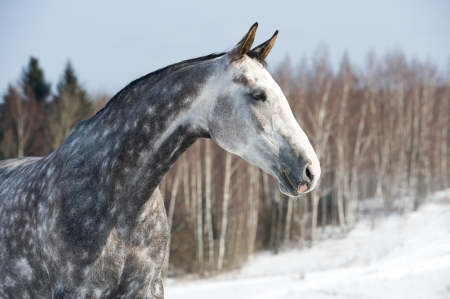 White Orlov trotter horse portrait on the winter background photo