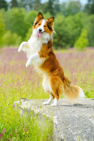 rearing: Border collie dog stand up on the flowers background Stock Photo