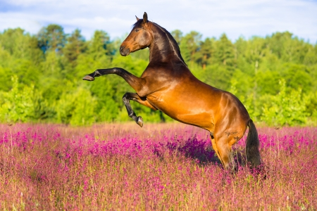 Bay horse rearing up on flowers background in summer time