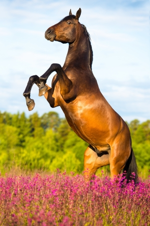 Bay horse rearing up on floral background in summer time Stock Photo