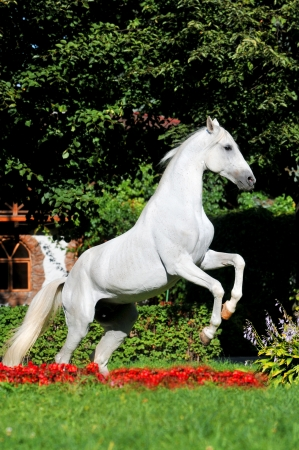 rearing: White horse rearing up in red flowers in summer