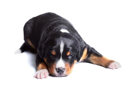 sennenhund: two-weeks puppy, sennenhund appenzeller tricolor