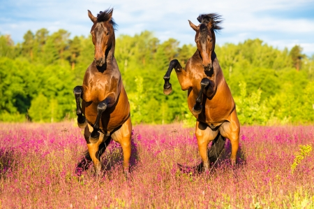 Two horses play on the pink flowers in summer time photo