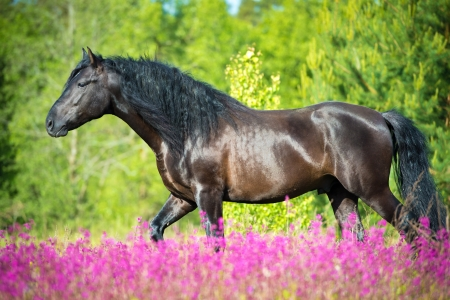 halter: Black horse walking on the beautiful meadow with pink flowers Stock Photo