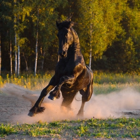 friesian: Black horse play in the dast in summer