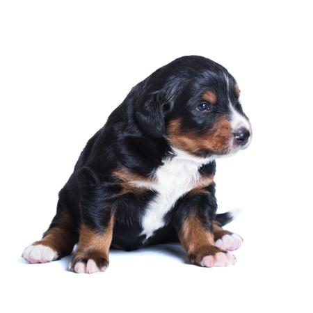 sennenhund: Poco bernese Sennenhund cucciolo, un mese di vita Archivio Fotografico