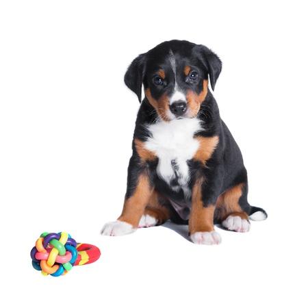 sennenhund: cucciolo Bovaro dell'Appenzell, 7 settimane, isolato su bianco